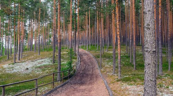 Narrow path through pine trees